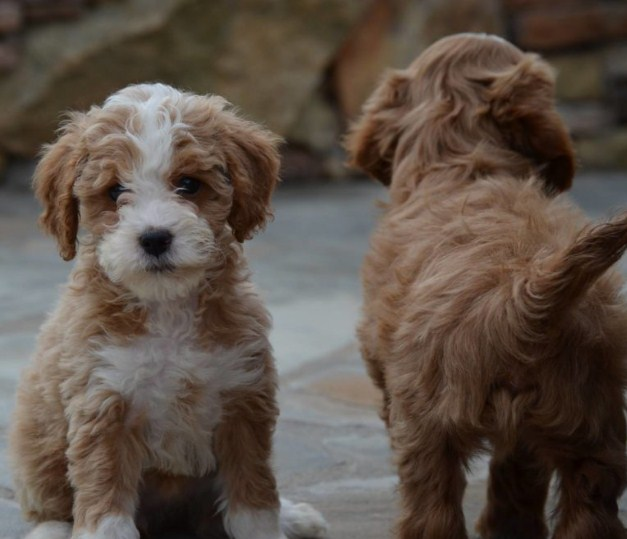 Country Mini Goldendoodles 1
