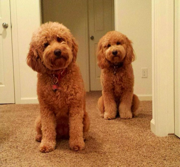Country Mini Goldendoodles 3