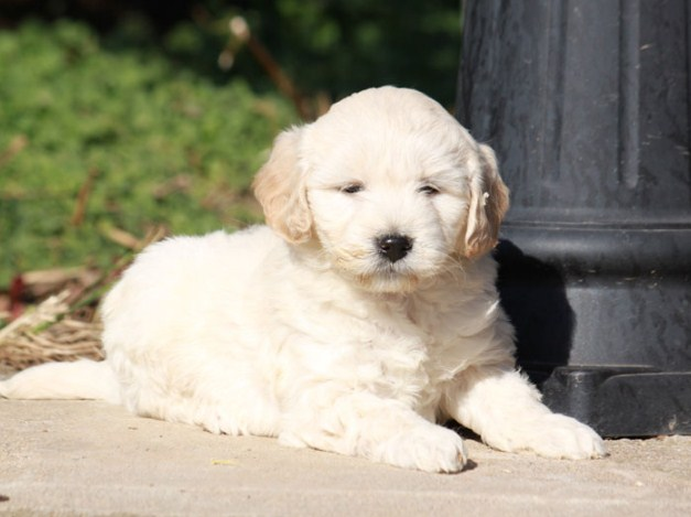 F1 Mini Goldendoodle Puppies for Sale 2