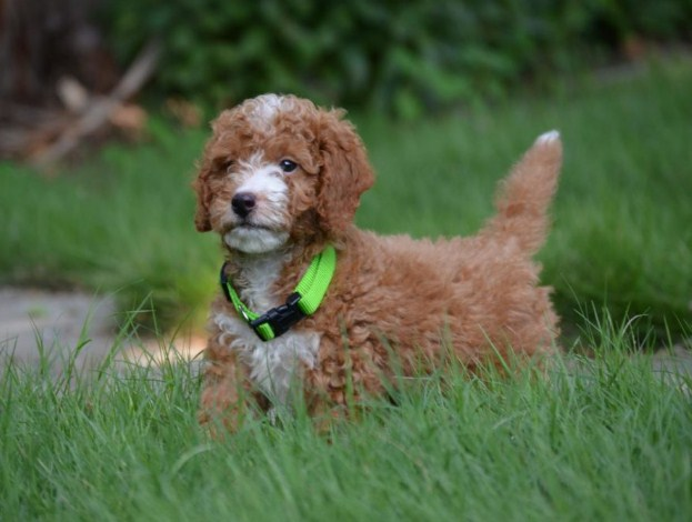 F1 Mini Goldendoodle Puppies for Sale 3
