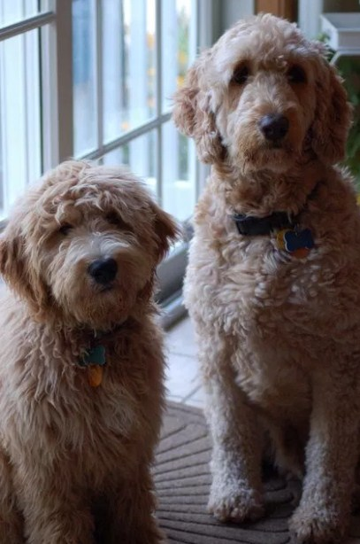 F1 Mini Goldendoodle Reviews 3
