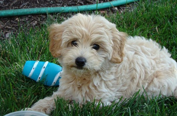 F1b Mini Goldendoodle 3