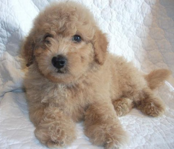 Mini Goldendoodle Florida 1