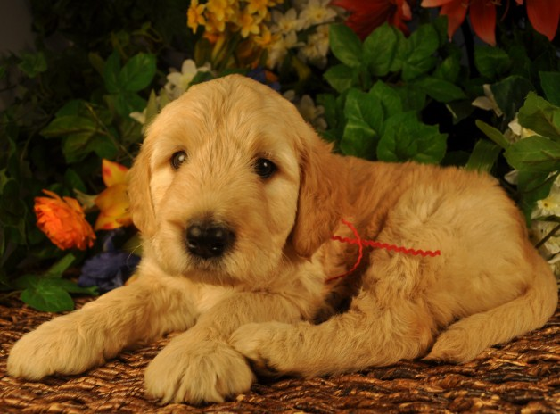 Mini Goldendoodle Florida 3