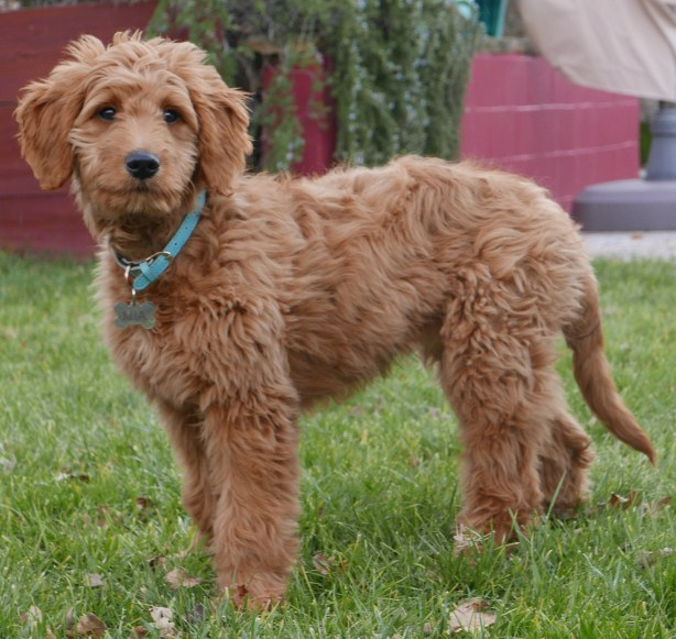 Mini Goldendoodle Full Grown 3