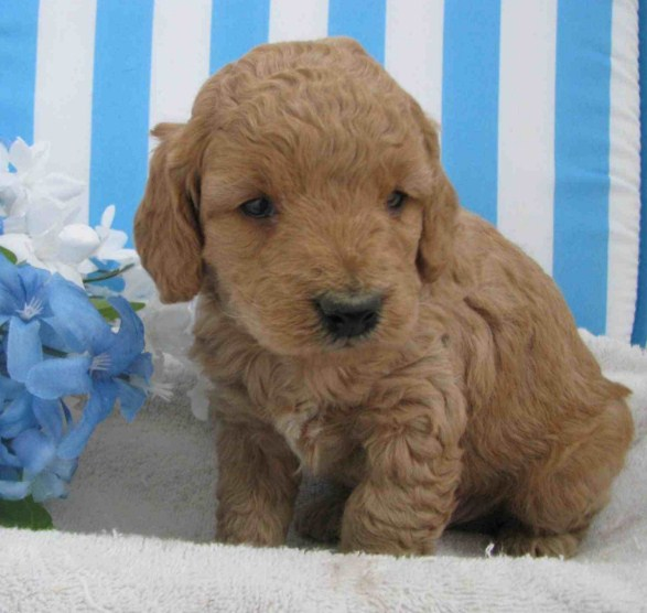 Mini Goldendoodle Iowa 2