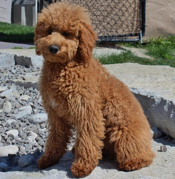 Mini Goldendoodle Ohio 1