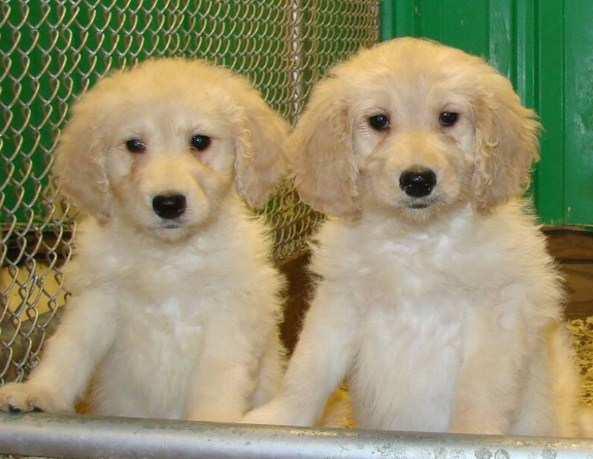 Mini Goldendoodle Puppies Chicago 1