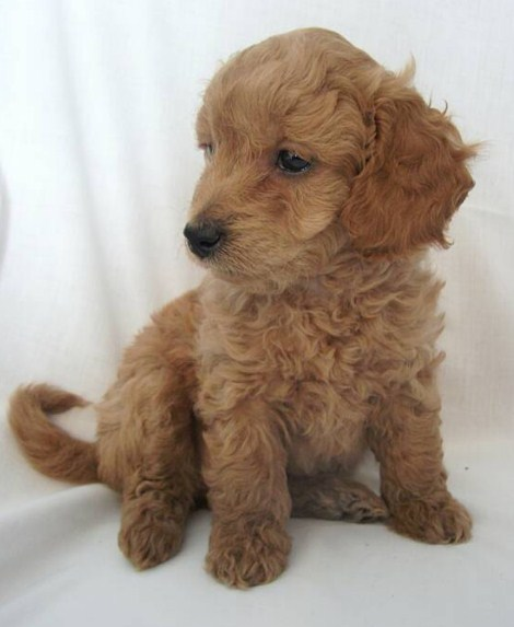 Mini Goldendoodle Puppies Chicago 2