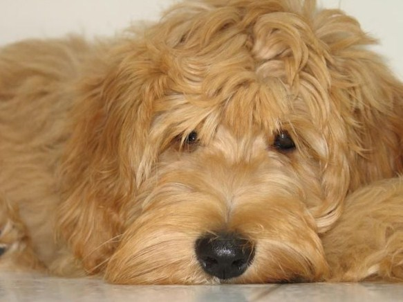 Mini Goldendoodle Puppies Chicago 3