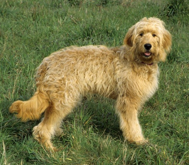 Mini Goldendoodle Puppies Facts & Information 2