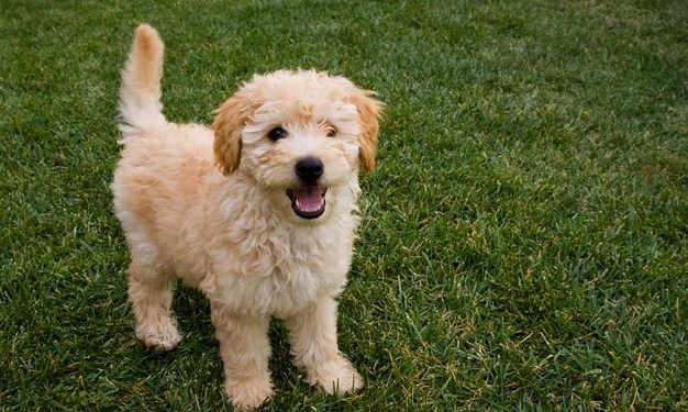 Mini Goldendoodle Puppies Facts & Information 3
