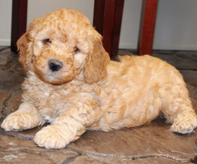 Mini Goldendoodle Puppies for Sale in PA, California, NY & Others 2