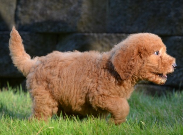 Mini Goldendoodle Tennessee 1