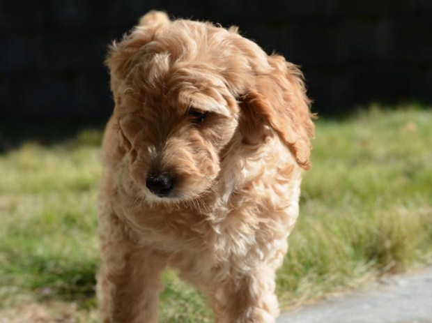 Mini Goldendoodle Tennessee 2