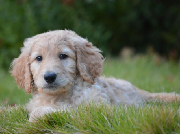 Mini Goldendoodle Tennessee 3