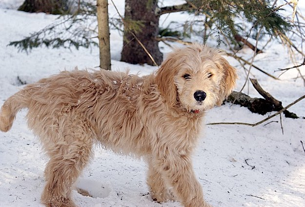 Mini Goldendoodle Texas 2