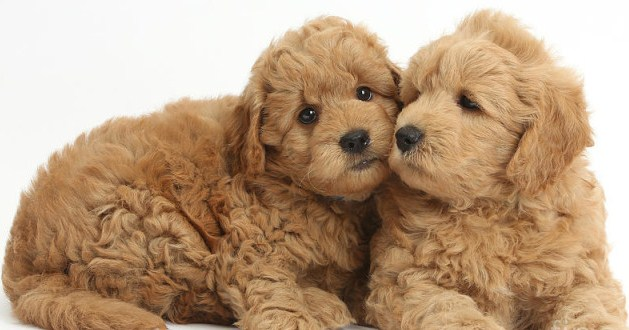Mini Goldendoodle Texas 3