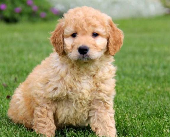 Mini Goldendoodle for Sale Near Me 1