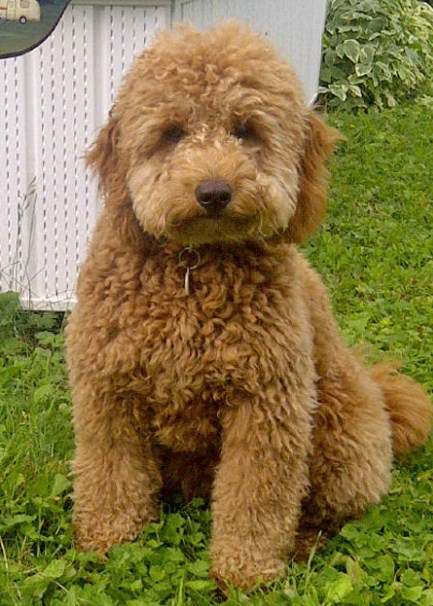 Mini Goldendoodle for Sale Near Me 2