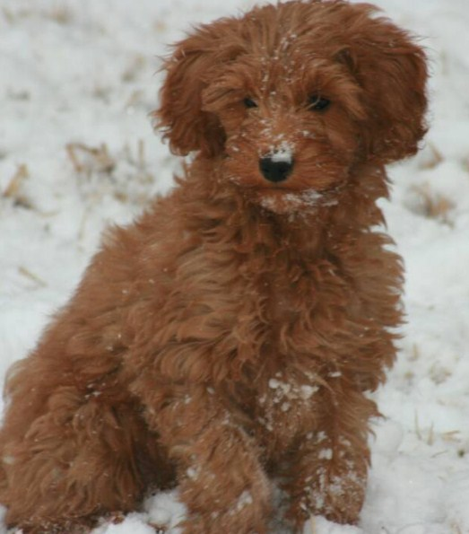 Red Mini Goldendoodle 3