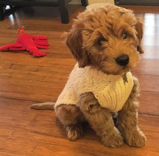 Country Mini Goldendoodles 2