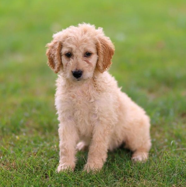 Goldendoodle Mini 2nd Gen 1