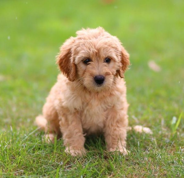 Goldendoodle Mini 2nd Gen 2