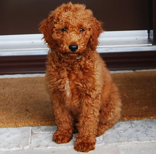 Mini Goldendoodle Pictures 2