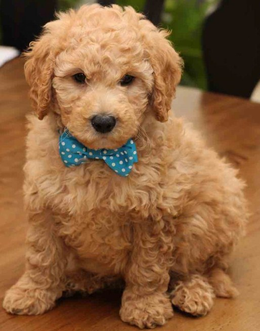 Mini Goldendoodle Pictures 3