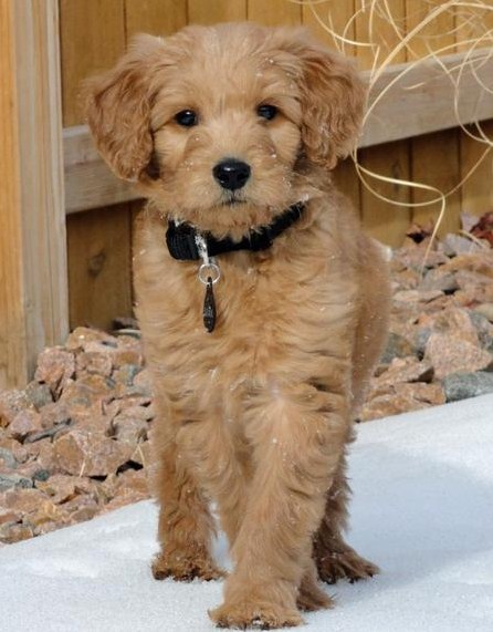 Mini Goldendoodle Adult 1