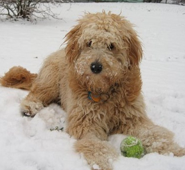 Mini Goldendoodle Adult 2