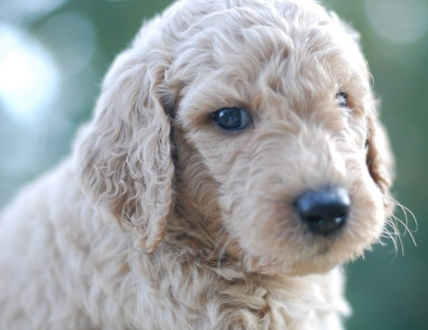 Mini Goldendoodle Atlanta 2