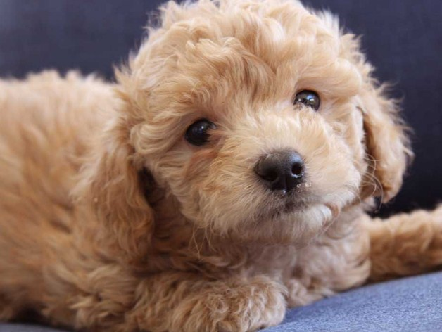 Mini Goldendoodle Breeders 1