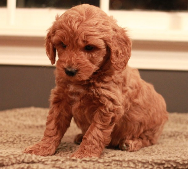 Mini Goldendoodle Breeders Northeast Mini Goldendoodle