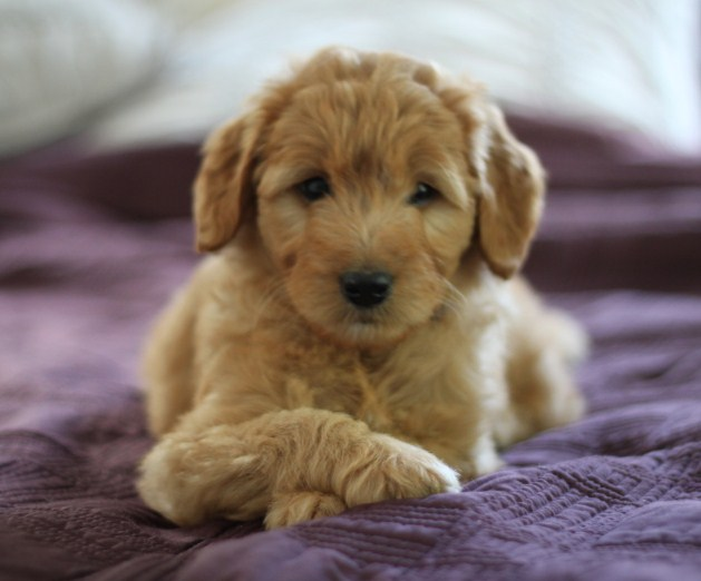 Mini Goldendoodle Cost