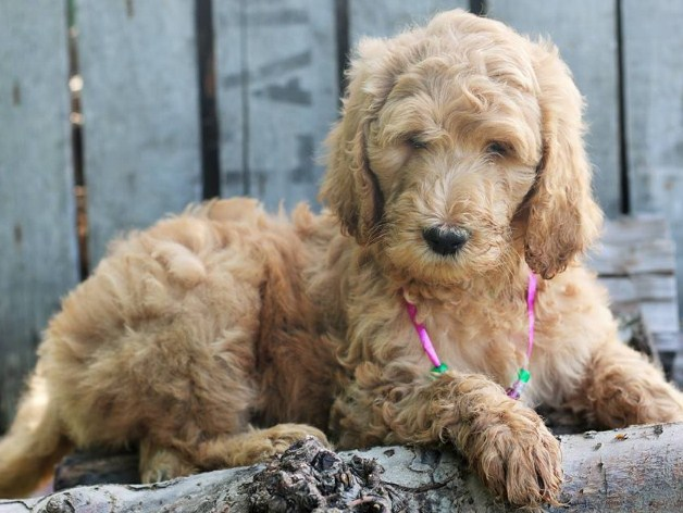 Mini Goldendoodle Florida 2