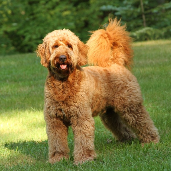 Mini Goldendoodle Full Grown 1