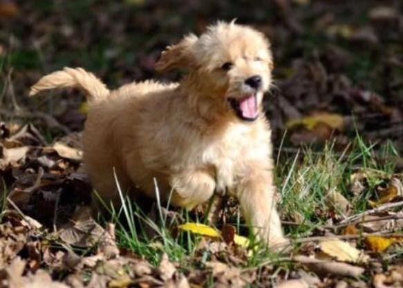 Mini Goldendoodle Indiana 3