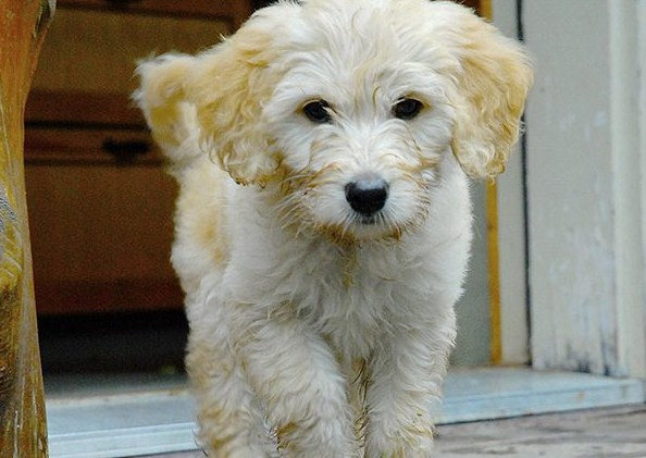 Mini Goldendoodle Mn Mini Goldendoodle