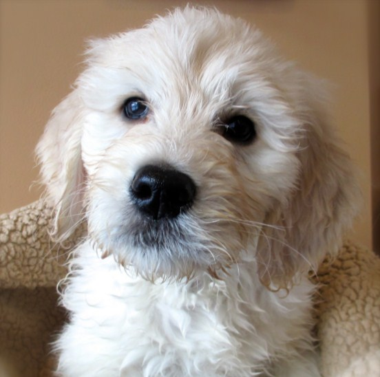 Mini Goldendoodle Michigan 1