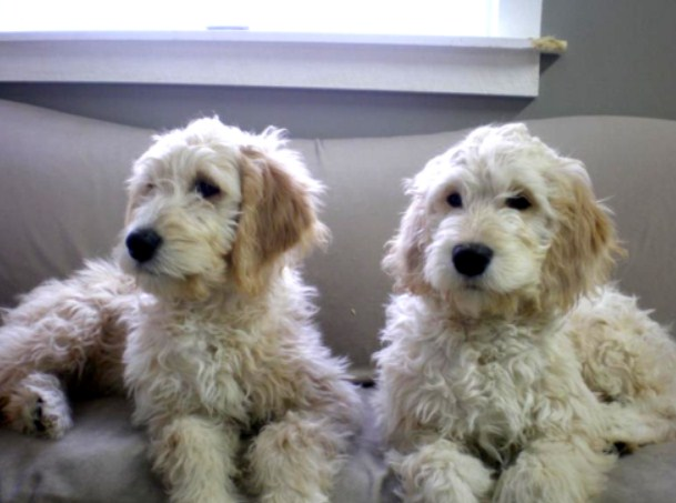 Mini Goldendoodle Michigan 3