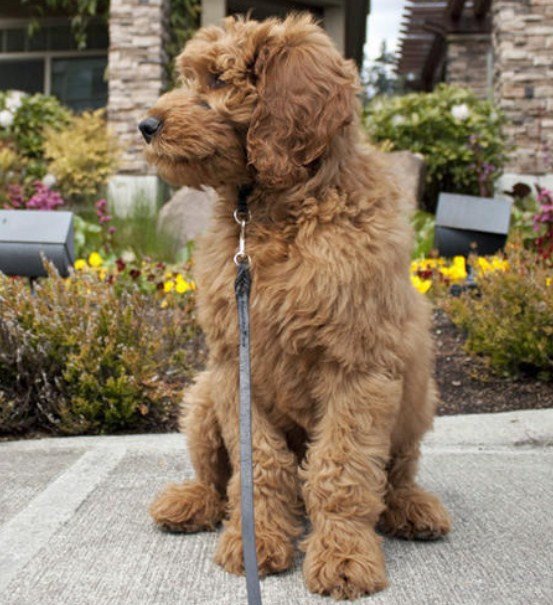 Mini Goldendoodle 2