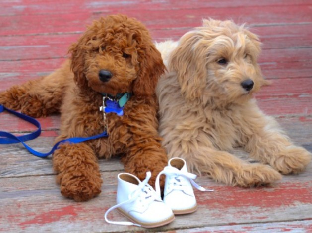 Mini Goldendoodle Ohio Mini Goldendoodle