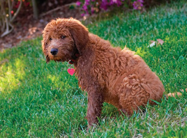 Mini Goldendoodle Oregon 3