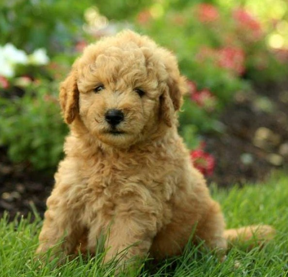 Mini Goldendoodle Puppies Facts & Information 1