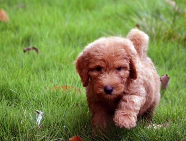 Mini Goldendoodle Puppies NC 1