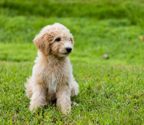 Mini Goldendoodle Puppies NC 2