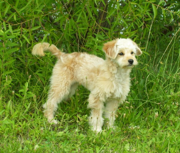 Mini Goldendoodle Puppies NC 3