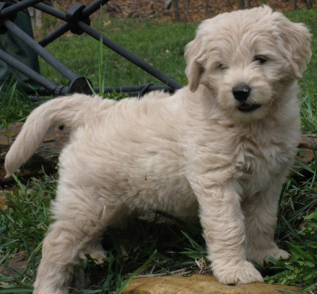 Mini Goldendoodle Puppies for Sale in PA, California, NY & Others1